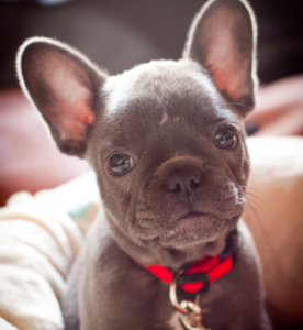 frenchie pup