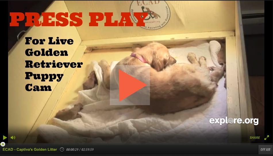 Live Golden Retriever Puppy Camo on explore.org