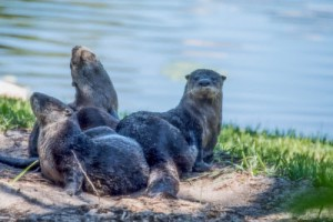 Otters serving as Women on Fire inspiration
